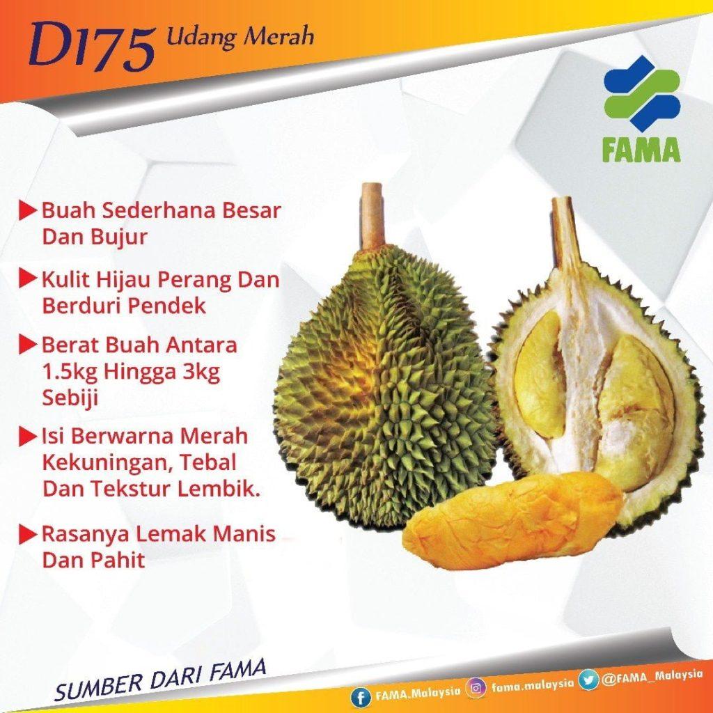 durian jenis Udang Merah