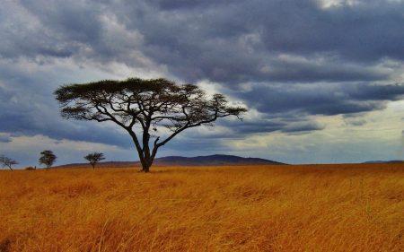 pokok acacia