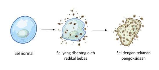 sel rosak akibat kekurangan antioksidan