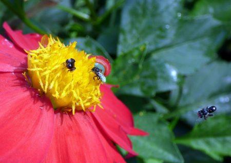 lebah kelulut