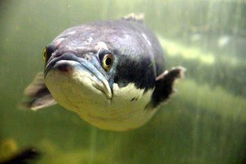 khasiat ikan haruan