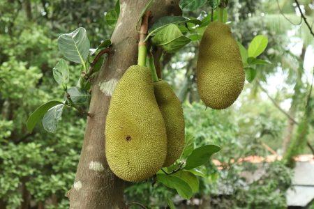 pokok dan buah nangka