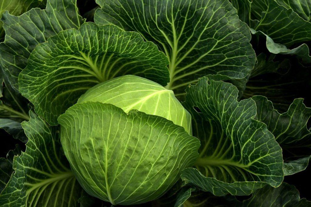 sayur kubis juga makanan sihat