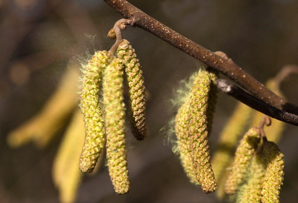 debunga penyebab rinitis alergi