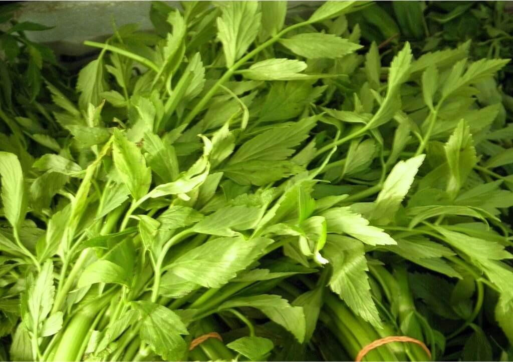 khasiat daun selom