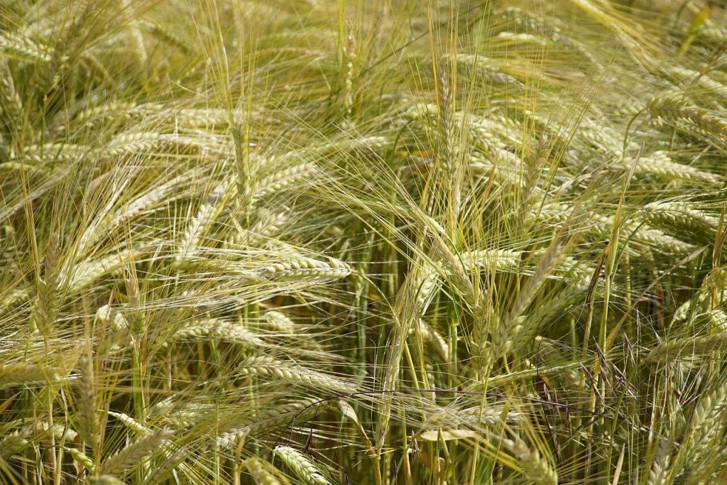 khasiat barli-ladang barli