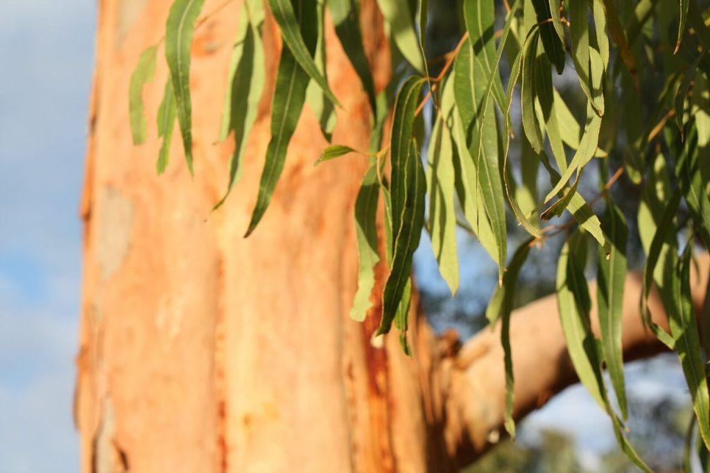 khasiat minyak kayu putih yang diperolehi daripada daunnya
