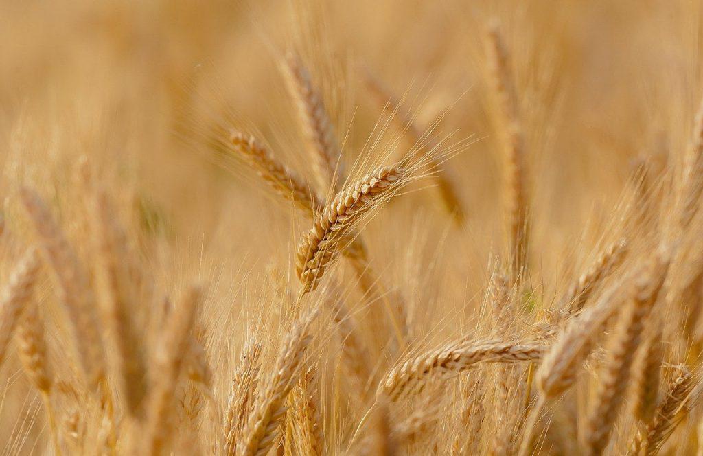 khasiat gandum