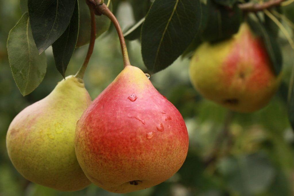khasiat buah pir