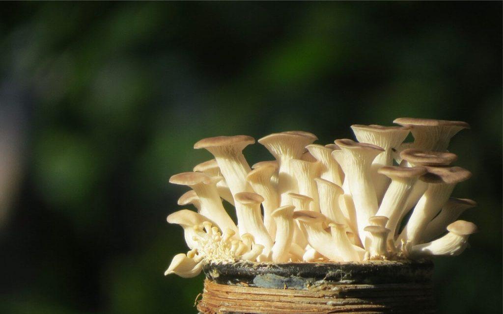 khasiat cendawan tiram